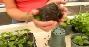 How to Grow House Plants from Tip Cuttings : How House Plants Root When Grow from Tip Cuttings